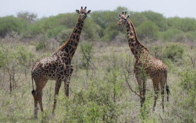 100: Kenya: du 18 au24 février 2021: Parc national du Tsavo ouest