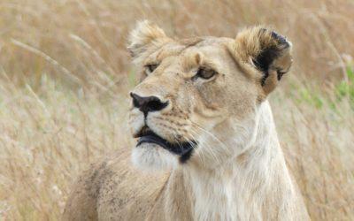 104. Kenya : du 16 au 20 mars 2021 : Masai Mara