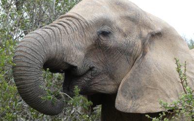 131. Afrique du Sud : du 12 au 17 octobre 2021 : Tsitsikamma, Addo Elephant Park, Jeffrey's Bay, East London